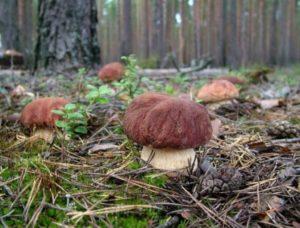 грибы в ленинградской области